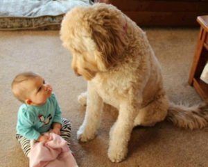 happy-oodles-which-dog-is-right-for-you-dog-and-young-children-fl