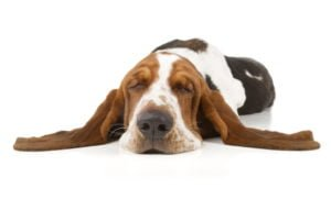 happy-oodles-which-dog-is-right-for-you-dog-bassett-hound-sleeping-fl