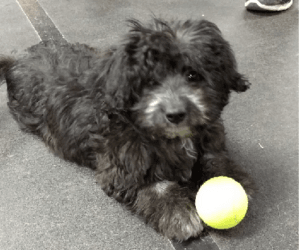 Puppy Socials - What to expect. Young puppy at a puppy social with a ball.
