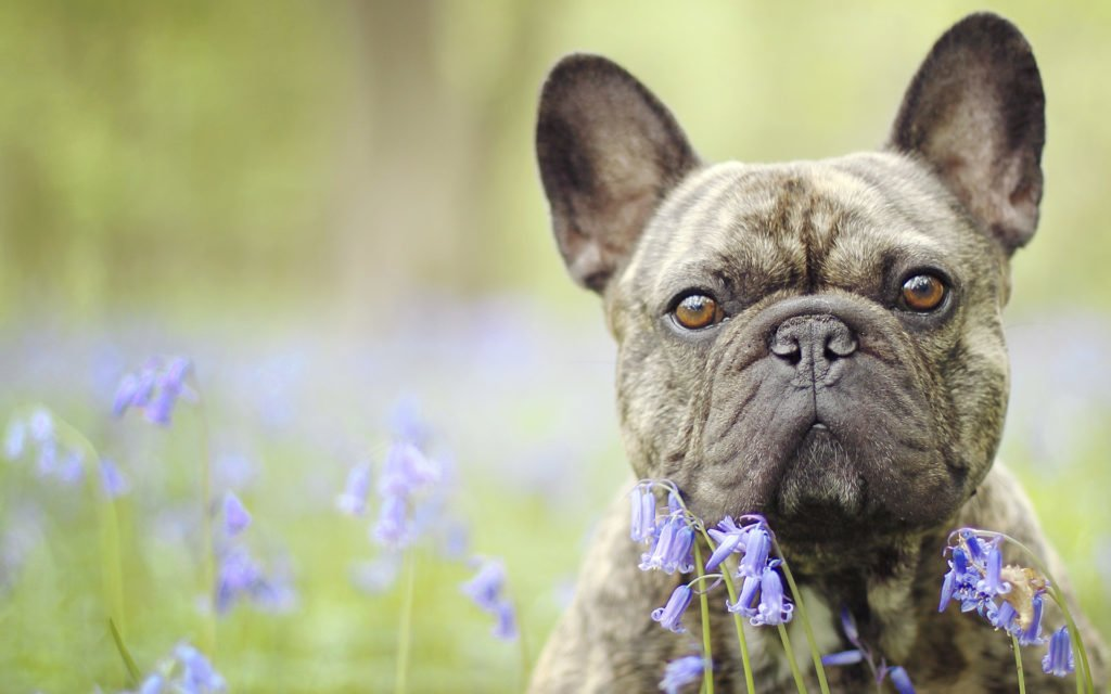 Is the French Bulldog Right For You?