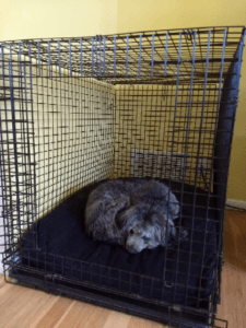"""Picture of a small gray puppy on a black pillow bed in side of a crate with the door open.  Property of Happoodles.com Post """"What You Need for Your New Pup"""""""