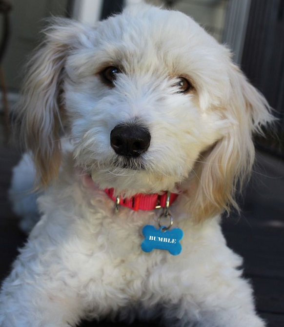 Dog Adoption - Finding Your Perfect Pup White dog named Bumble @ Petfinder.com