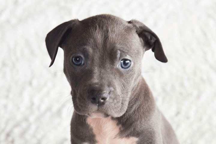 How to Increase Your Chance of Being Selected for a Rescue Dog. Gray puppy sitting