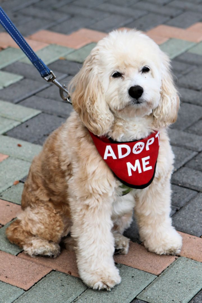 Rescue Dogs: Tips on How to Get One. Picture of a white fluffy dog with a Adopt Me sign.