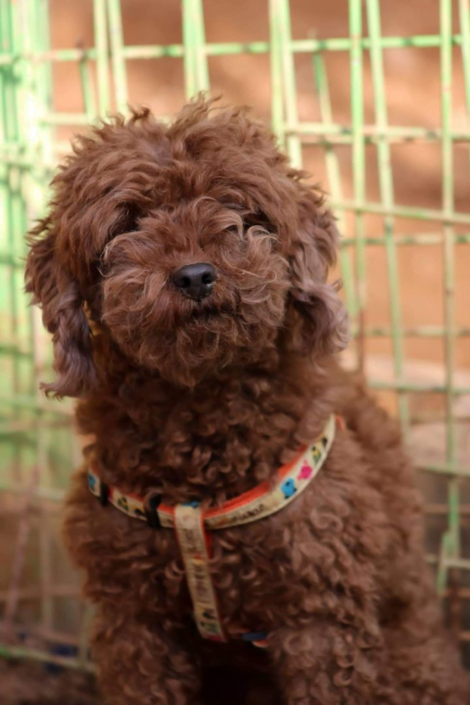 Rescue Dogs: Tips on How to Get One. Picture of a brown fluffy dog sitting.