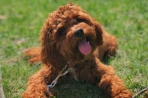 5 Safe and Easy Ways to Socialize your Puppy - Puppy laying in grass