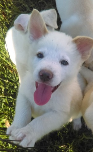 Earl Grey is believed to be a Labrador Retriever and White Shepherd Mix