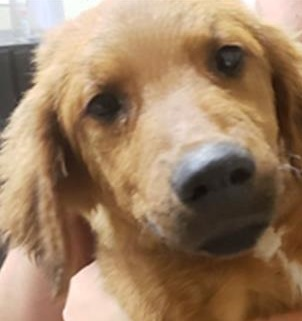 Happyoodles.com How Much Does It Cost to Adopt a Dog?  Ross is a Golden Retriever and Rottweiler mix