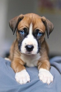 How Much Does It Cost to Adopt a Dog?  Malcolm is a 2 month old Labrador Retriever mix.