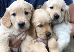 How Much Does It Cost to Adopt a Dog? - Happyoodles.com Three Golden Retriever  puppies