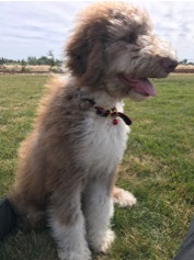 How Much Does It Cost to Adopt a Dog? 5 month old Aussiedoodle
