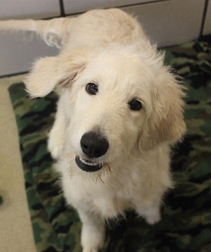 How Much Does It Cost to Adopt a Dog? Goldendoodle puppy