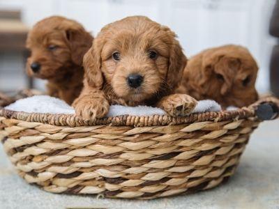 Goldendoodle puppies