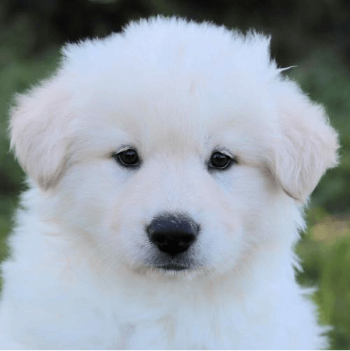 Denver a white fluffy puppy in 10 Reasons to Adopt a Shelter Dog.