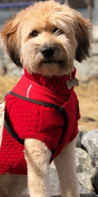 Does Your Dog Need a Sweater? Picture of a dog in red dog sweater.