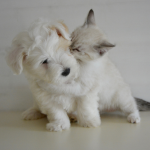 How to Socialize A Puppy - Made Easy - Kitten holding a puppy