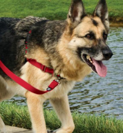 Easy Walk Dog Harness on German Shepherd walking