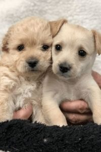 These adorable 9 week old puppies were available for adoption by Saving K9 Plus