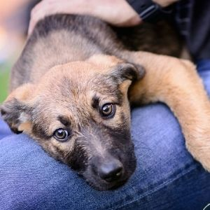 Potty Training Mistakes- German Shephard Puppy in lap
