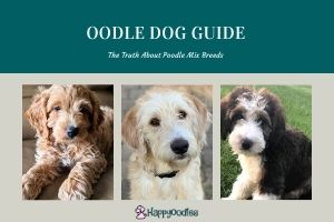 Oodle Dog Guide - What You Need to know
