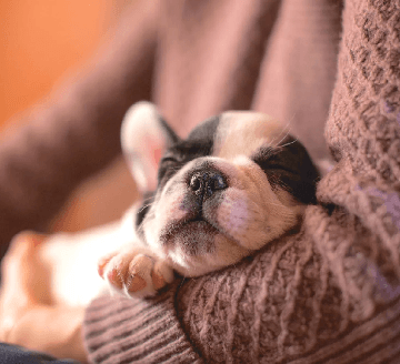 Small french bulldog sleeping in the arms of person with a pink sweater. from the post What You Need for Your New Pup
