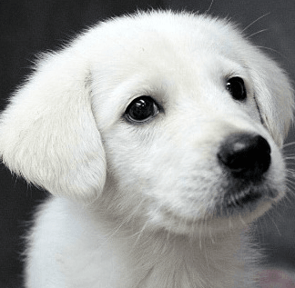 How to Find a Reputable Dog Breeder - White Labradoodle Puppy
