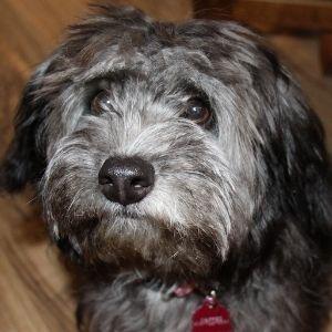 Rat Terrier poodle mix - Bella