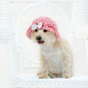 The Best Terrier Poodle Mix Breed Guide - Silkypoo Silky Terrier and Poodle mix