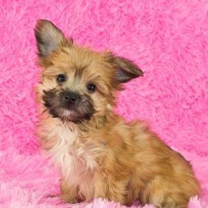 Terrier Poodle mix Yorkie poo puppy
