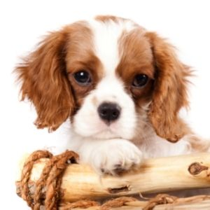 British dog names post - King Charlies Spaniel