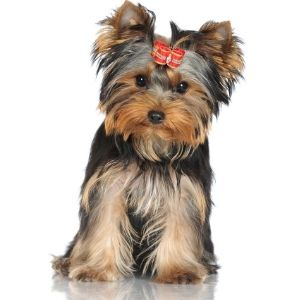 550 British Dog Names to choose from - Yorkshire Terrier