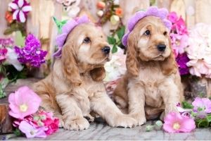 British Dog Names : Cocker Spaniel puppies