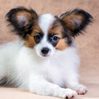 Happyoodles.com French dog names Papillon, also called the Continental Toy Spaniel
