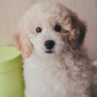 French dog names - Cream poodle puppy