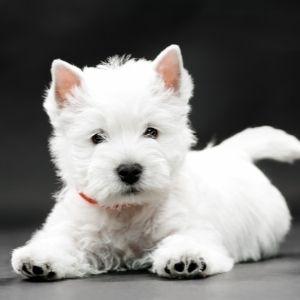 Scottish Dog Names - westie