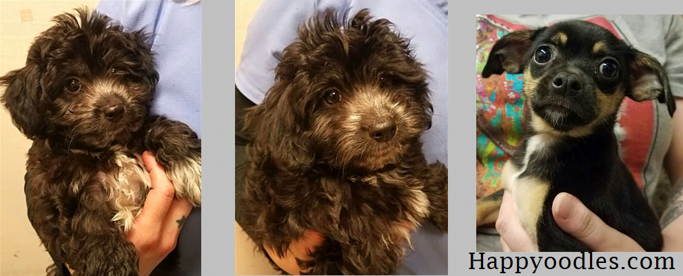 Rat Terrier Poodle Mix : The Rattle Dog