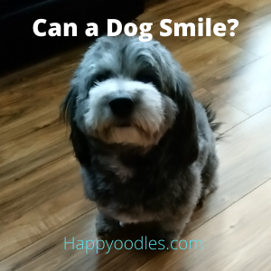 Can a Dog Smile? Some Say No, But Mine Can - Happyoodles.com