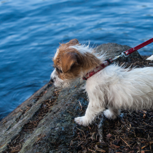 How to Socialize A Puppy - Made Easy - Puppy near water on leash