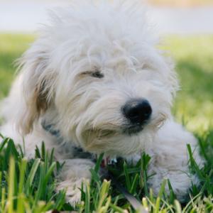 Happyoodles.com Puppy in grass
