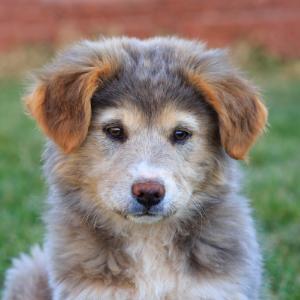 Happyoodles.com Aussie puppy