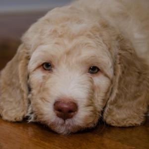 Australian Dog Names Happyoodles.com Labradoodle puppy