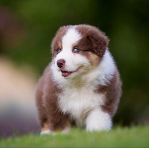 Australian Shepherd puppy 200 Dog names