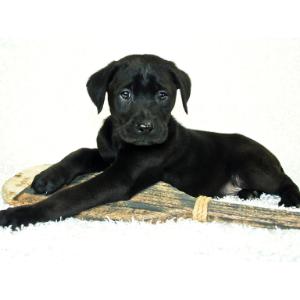 Happyoodles.com Black Dog Names Black Lab Puppy