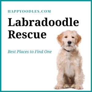 Labradoodle Rescue: 14 Best Places To Look