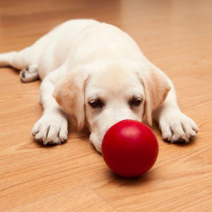 Puppy socialization Mistakes - Puppy with red ball