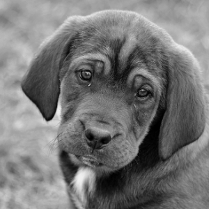 Puppy Socialization Mistakes - Black and white picture of puppy