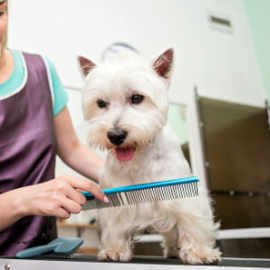 The Best Dog Groomer: How to Find One For Your Dog - Westie being groomed