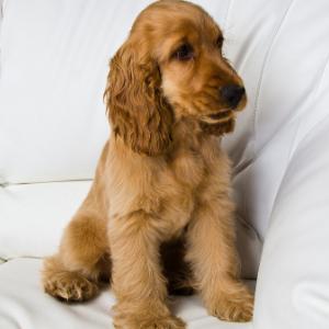 Happyoodles.com  Pic of Cocker Spaniel Puppy
