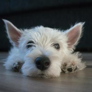 300 Unique Dog Names - Westie puppy