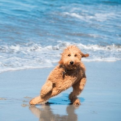 Golden doodle at the beach